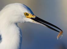 Right Profile Of Snowy White Egret With Shrimp In Beak