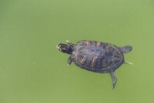 Red Eared Slider Turtle Swimmi...