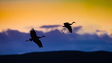 Two Sandhill Cranes Fly In For...