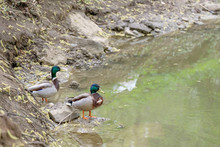 Two Males Of A Wild Duck Are Resting Near The Water On The River Bank