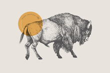 Hand Drawing Of American Bison...