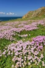L'Etacq, Jersey, U.K. Spring Coastal Landscape With Sea Thrift.