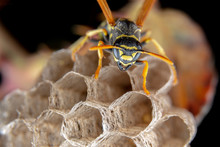 Female Wiorker Polistes Nympha Wasp Protecting His Nest