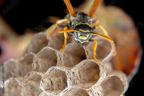 Fotografiet Female wiorker Polistes nympha wasp protecting his nest