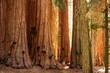 Leinwanddruck Bild - Hiker in Sequoia national park in California, USA