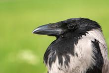 Portrait Of A Hooded Crow, Corvus Cornix. Close Up