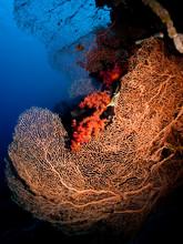 Sea Fan Coral (Annelle Mollis)