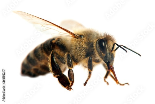 Poster Bee bee or honeybee or honey bee isolated on the white