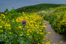 Trail Of Invasive Plants In National Park Point Reyes Seashore - Mustard And Oregon Thistle