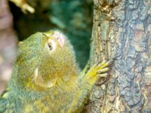 Pygmy Marmoset In Zoo