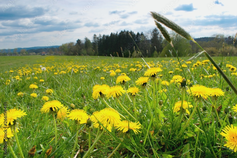 Fototapety, obrazy: Beautiful blooming dandelions in the spring meadow