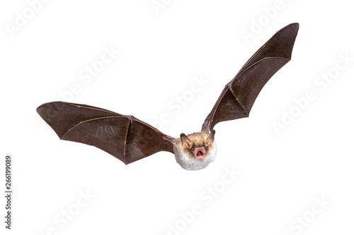 Flying Natterers bat isolated on white background Canvas Print