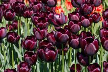 Dark Maroon Queen Of The Night Tulip Flower