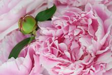 Close Up Of A Flower Bud Of A Pink Sarah Bernhardt Garden Peony