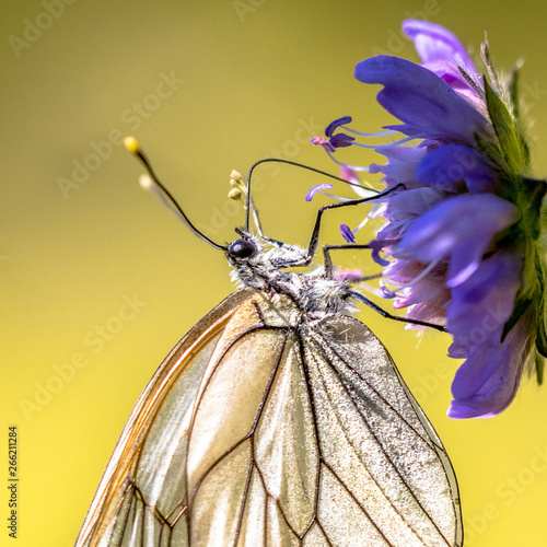 Photo Black veined white butterfly close up
