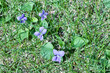 Close-up view of native blue wood violet wildflowers (viola sororia) growing in a North American prairie grassland in spring and summer