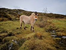 Norwegian Fjord Horse In Natur...
