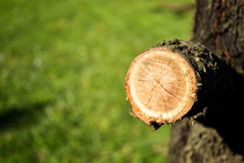 Closeup Shot Of Cut Off Branch...