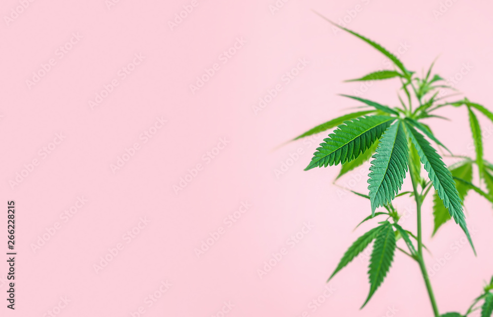 Fototapety, obrazy: Indoor Cannabis plant, branch of marijuana on a pink background with copy space