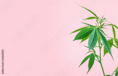 Fototapeta Indoor Cannabis plant, branch of marijuana on a pink background with copy space obraz