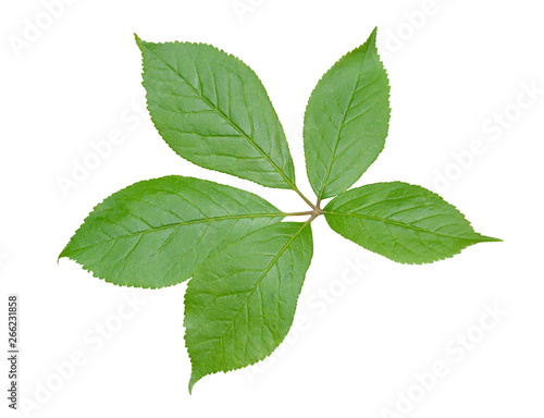 Valokuva  Leaf of herb (Eleutherococcus senticosus) 3