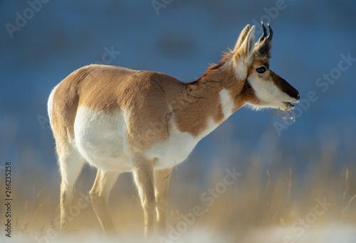Poster Antilope Winter feeding