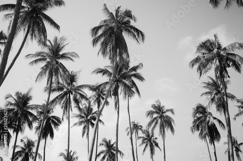Palmier Coconut palm trees in sunset light. Vintage background. Black and white retro toned poster.
