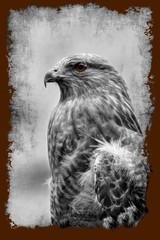 Fototapeta Ptaki Portrait red tail hawk