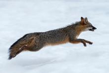 Gray Fox Running In The Snow -