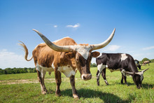 Texas Longhorn Cattle Grazing On Spring Pasture