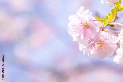 Aluminium Prints Blue sky 八重桜(牡丹桜)