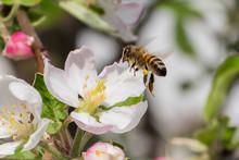 Honey Bee, Extracting Nectar From Fruit Tree Flower