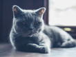 British shorthair cat by the window
