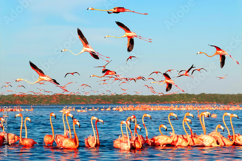 Poster Piscine Many pink beautiful flamingos in a beautiful blue lagoon. Mexico. Celestun national park.