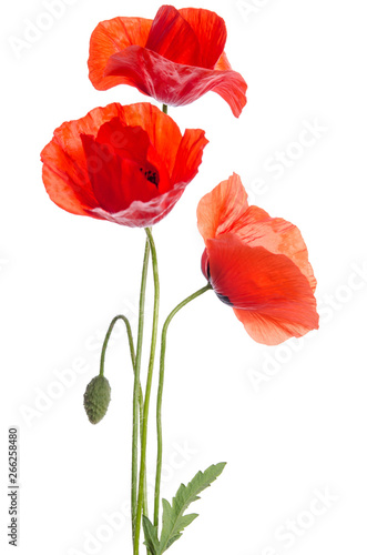 Montage in der Fensternische Mohn bouquet of red poppies isolated on white background.