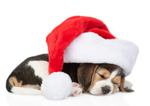 Sleeping Beagle Puppy In Red C...