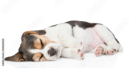 Sleeping beagle puppy.  isolated on white background © Ermolaev Alexandr