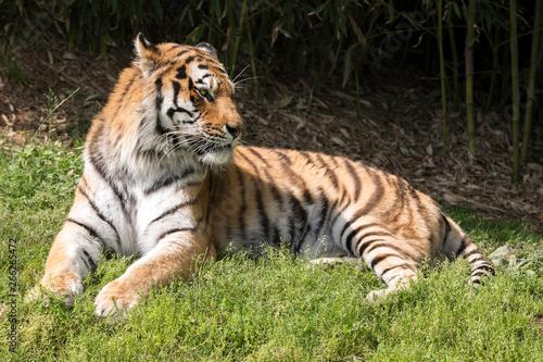 In de dag Tijger tiger resting in a zoo in italy