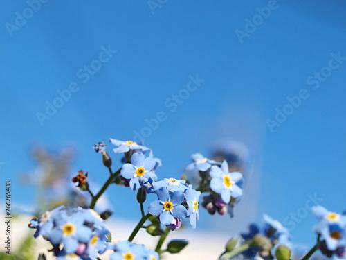 ワスレナグサの花