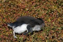 Totger Pinguin In Australien