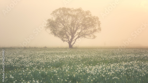 Foto op Plexiglas Weide, Moeras Amazing nature landscape with single tree and flowering meadow of white wild growing narcissus flowers in morning dew at sunrise. Daffodil valley, nature reserve near Khust, Transcarpathia, Ukraine