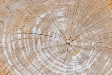 Background Of The Transverse Cut Of The Elm Tree Trunk