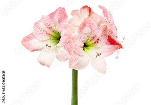 Canvas Print Hippeastrum or Amaryllis flowers ,Pink amaryllis flowers isolated on white backg