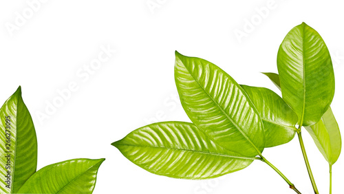 Foto  Mangosteen leaves, Tropical evergreen tree, Foliage of mangosteen isolated on wh