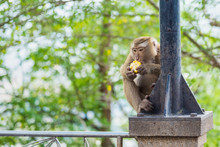 Rhesus Macaque Monkeys At Rang Hill Lookout Point, Phuket, Thailand.