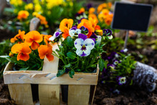 The Spring Colorful Flowers Ready For Planting.
