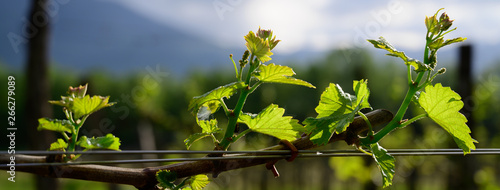 Fotografia  Vine branch with blossoms ine early spring in vineyard banner size