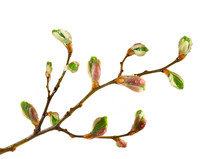 Isolated Image Of Buds On A Tr...