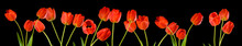 Isolated Image Of Tulips Flowers Close Up