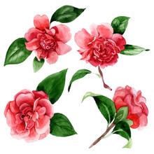 Pink Camelia Floral Botanical Flowers. Watercolor Background Illustration Set. Isolated Camelia Illustration Element.